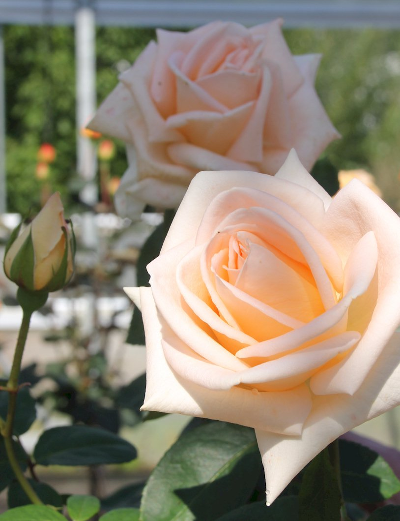 сорт розы осиана
